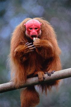 Bald uakari  The shocking red pate of this follically-challenged simian has earned it the nickname among South Americans of 'mono angles', or 'English monkey', in honour of the first sunburnt Britons to visit their homeland.  Where to spot them  The bald uakari can be found deep in the forests of Brazil, Peru and Colombia. Reef and Rainforest  can organise tailor made holidays to Uakari Lodge, in Brazil's remote Mamiraua Sustainable Development Reserve, where guests can