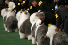 Old English Sheep dogs are placed by handlers in the ring during competition at the 139th Westminster Kennel Club's Dog Show in the Manhattan borough of New York Feb. 16. (Mike Segar/Reuters) - Westminster Kennel Club Dog Show - The Big Picture - The Boston Globe