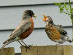 American Robin adult feeding an immature