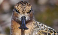 An adult male spoon-billed sandpiper. There may now be fewer than 100 breeding pairs left in the wild