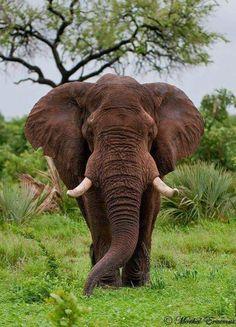 Kruger: December 2009 (Part Focusing on Wildlife Big Animals, Majestic Animals, Nature Animals, Animals Beautiful, African Bush Elephant, Asian Elephant, Elephant Love, Elephant Elephant, All About Elephants