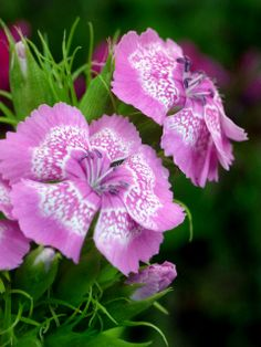 White Pattern on Pink Flowers