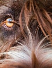 WPG-their eyes are the most human of any dog!