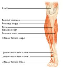 Shin splints can affect anyone from athletes to those who put a lot of stress on the lower leg. Often times, shin splints are associated with sporting Shin Splint Exercises, Shin Splints, Best Weight Loss, Weight Loss Tips, Peroneus Longus, Study Flashcards, Medical Facts, Body Is A Temple, Sweat It Out