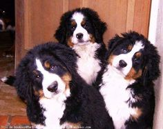 3 gorgeous Bernese Mountain Dog puppies