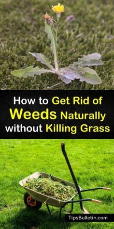Learn different strategies for how to get rid of weeds naturally without killing grass. Use boiling water, dish soap, and other natural weed killers to remove dandelions and crabgrass. Try preventative measures like mulch or mowing to assist weed control. Kill Weeds Not Grass, How To Kill Grass, Grass Weeds, Killing Weeds In Lawn, How To Remove Grass, How To Kill Dandelions, Kill Weeds Naturally, Weed Killer Homemade, Weed