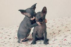 Even hairless cats are cute!