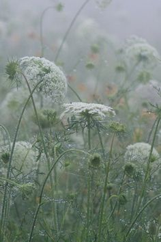 I love Queen Anne's Lace!