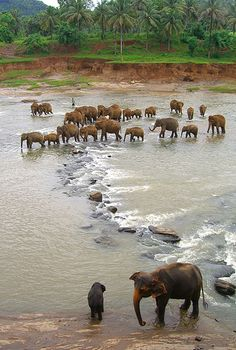 Pinnawala Elephant Orphanage, Sri Lanka = I HERD they all have inbuilt shower system = their TRUNK !! ✔️