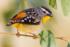 Spotted Pardalote. I had never seen one of these before yesterday. Sadly it had died after flying into our window. ;( Photo: Ákos Lumnitzer.
