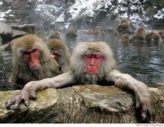 No monkeys like snow monkeys: Soak up Japan's hot-tubbing wildlife. Get the story at http://www.sfgate.com/cgi-bin/article.cgi?f=/c/a/2008/02/29/TREKUT9F9.DTL&ao=all