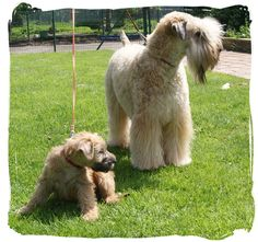 Little puppie Loesje with big brother Poirot. More info about the breeder on www.wheatens.be