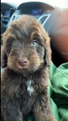Bernese Mountain Dog meets Poodle ♥️ This incredible breed is devoted, loving, intelligent and energetic. If you are looking to add a furbaby to your loving home please visit our website! 🐾 #Bernedoodle #therapy #dogs #labradoodle #beauty #happiness #video #baby #furbaby #perfection #puppies #puppy #cute #adorable #animals #petstagram #pets #doglovers #perfect #gorgeous #puppyeyes #photography #dog #familydog #doodles #lifestyle #love #amazing #animalvideo #dogvideo #cutevideo #gorgeous