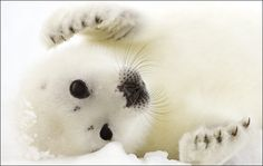 Little baby harp seal pup Harp Seal Pup, Baby Harp Seal, Baby Seal, Cute Creatures, Beautiful Creatures, Animals Beautiful, Funny Babies, Cute Babies, Llamas Animal