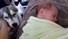 La cohabitation chien bébé peut parfois vous surprendre et être un moment magique. Voici un long article qui passe en revue la cohabitation chien bébé pour une famille heureuse et épanouie! Je vais avoir un bébé, un nouveau né, un nourrisson, bref un petit gars qui devrait s'appeler Mathias. Pour le moment il fait la