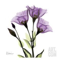 Gentian in Purple Art Print by Albert Koetsier at Art.com