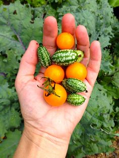 A snazzy combination! Mousemelons and 'Sungold' tomatoes!
