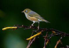 Silver-eye - Native NZ Bird