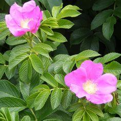 La rose est une symphonie de couleurs et d'odeurs http://www.mesarbustes.fr/rosiers.html