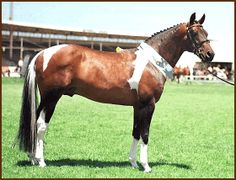This is a very rare pinto Standardbred. From the Standardbred Pleasure & Performance Horse Association of Victoria