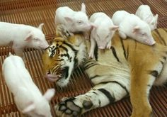 Tiger & A Whole Lot Of Piglets - Animal Odd Couples That Prove We Really Can All Get Along  - Photos