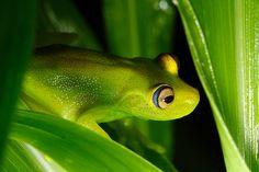 Damerara falls treefrog