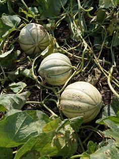 Brasilianisches Saatgut wirkt zur Gewichtsreduktion