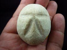 www.fossilplanet.com,  brissus joeguementi,fossil  echinoid,miocene,termopil,ukraine