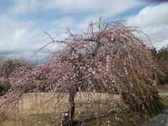 Plum tree (shidare) 11 March 2012