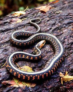 Oregon Red Striped Garter Snake