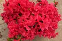 Azalea Bloom 'N Again 'Arabesk'