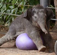 Cute Baby Elephant, Baby Hippo, Cute Baby Animals, Animals And Pets, Funny Animals, Wild Animals, Baby Elephant Pictures, Happy Elephant, Beautiful Creatures