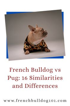 What are some differences between a pug and French Bulldog? We answer all that and more with this guide to 16 similaities and differences between pugs and French Bulldogs. Learn all about these dog breeds here. French Bulldog Facts, French Bulldog Puppies, French Bulldogs, Small Dog Breeds, Small Dogs, Similarities And Differences, Two Dogs, Dog Owners, Pugs