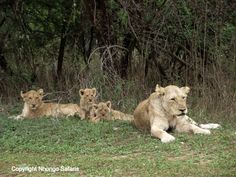 Mother lion with her cubs 2
