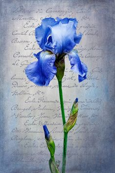 Blue Iris, by Dennis Rainville