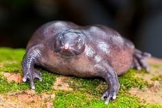 Purple Frog Also called the pignose frog, this ugly amphibian is found in the Western Ghats in India.