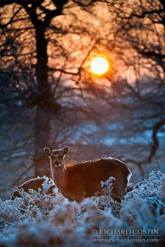 Sika Deer In Snowy Forest Backlit By Sunrise sunrise, morning, forest, winter, cold, sun, europe, animals, tree, glow, snow, uk, england, countryside, ice, dawn, wildlife, frost, snowing, atmosphere, freeze, backlit, mammals, atmospheric, britain, european, united kingdom, icy, golden light, woodland, english, sunup, sika deer, land mammals, cervinae, cervus nippon