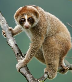 N. kayan, a new slow loris species. Photo by Ch'ien C. Lee via scientificamerican: Despite its adorable appearance, the loris is not entirely helpless and indeed possesses a gland on its arm that produces toxins which are activated by the animal's saliva and are transferred by bite. All previously recognized Slow Lorises are listed on the IUCN Red List as vulnerable or endangered due to of loss of rainforest habitat, and the illegal trade for pets and for traditional medicine. #Slow_Loris
