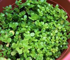 A small plant packing a nutritional punch, high in Omega-3. Cultivated verdolagas/purslane are tasty, healthy, and easy to grow.