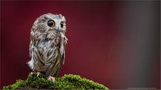 Saw-whet Owl by Raymond Barlow on 500px