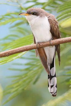 Желтоклювая американская кукушка / Yellow-billed Cuckoo / Coccyzus americanus #кукушка