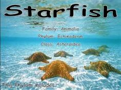Starfish video. Use with Apologia Swimming Creatures #homeschool science  http://bit.ly/ApologiaZoo2