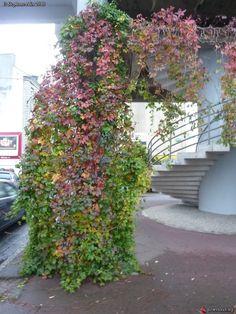 Parthenocissus quinquefolia = Vitis quinquefolia - Vigne vierge à Kérinou