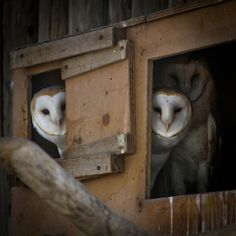 Farm owls in the Big Bear Zoo, CA.----I love your Bird Board, wish I could copy the entire board!