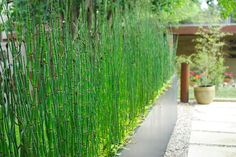 This horsetail plant makes a great modern hedge. Horsetail reed is a grass that dates back to a prehistoric age. A water loving plant that can actually grow in swampy soil, this plant loves sun but will tolerate some shade. Evergreen in mild climates. Great used in a modern or contemporary garden for it's structure and texture. Fast growing to 3-4 feet, it spreads underground and will spread indefinitely if not contained. Because of this, a great container plant.