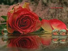 Red rose in puddle of water