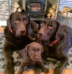 Mind Blowing Facts About Labrador Retrievers And Ideas. Amazing Facts About Labrador Retrievers And Ideas. Labrador Retriever Chocolate, Chocolate Lab Puppies, Golden Retriever, Labrador Retriever Dog, Chocolate Labs, Labrador Puppies, Chocolate Labradors, Corgi Puppies, Black Lab Puppies