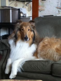 I have always wanted this breed, must be the Lassie influence. So beautiful and friendly.