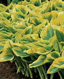 Liberty Hosta $18.99 a piece. never need dividing. would need 40-50