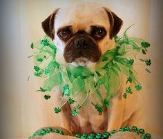 PetsLady's Pick: Cute St. Patrick's Pugs Of The Day ... see more at PetsLady.com ... The FUN site for Animal Lovers